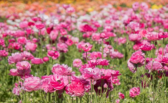 The Flower Fields – Carlsbad, CA