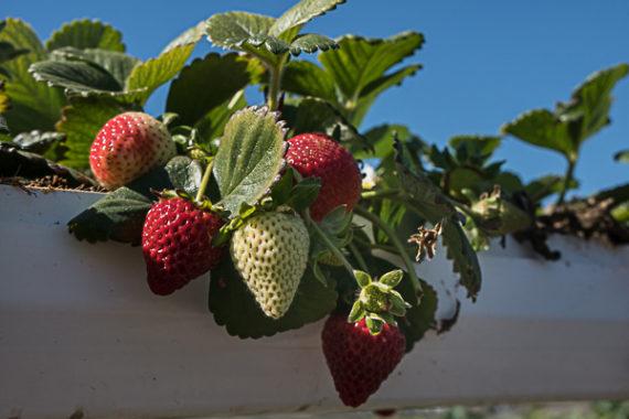 Strawberry Time at Tanaka Farms!