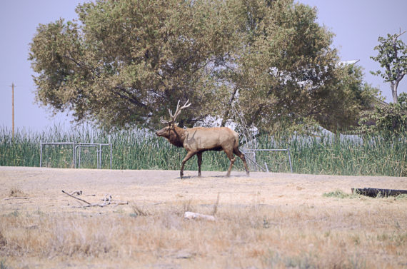 Tule Elk Reserve – Buttonwillow, CA